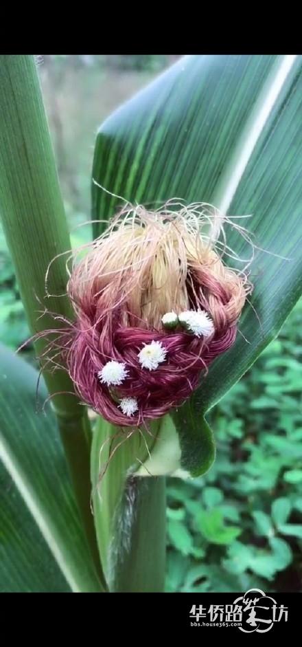 这年头连玉米都活得那么精致 网友:可怕的是连发量也不如它