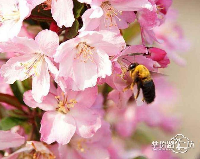 本周日,来溧水赏世界最大海棠花海!